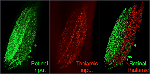 tectal neuropil from a larva in which both the thalamus and retina are labelled with Kaede