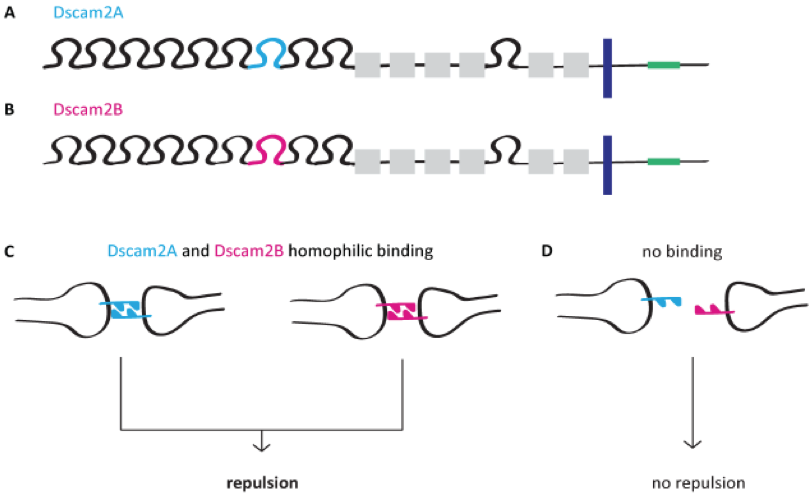 Isoform-specific homophilic binding