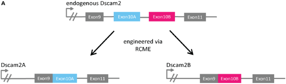Construction of the Dscam2 single isoform mutant lines