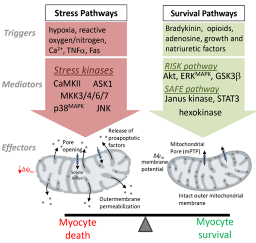 Signalling mechanisms that regulate cardiomyocyte survival and myocardial injury