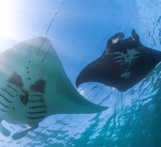 Manta ray photo identification